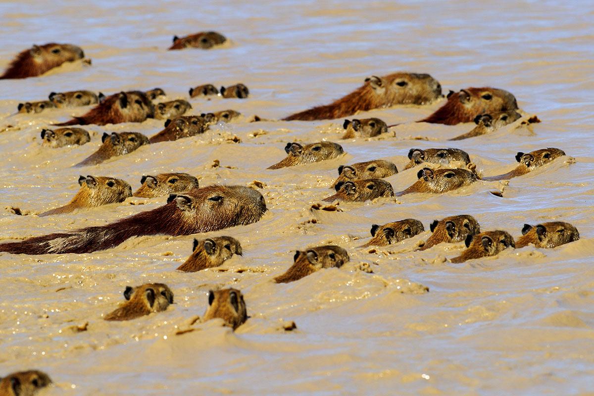 <p><strong>Kapybary</strong> Llanos, Venezuela</p>