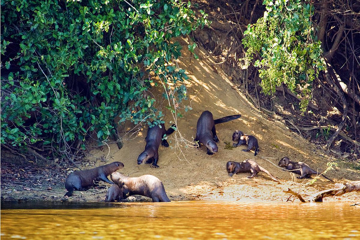 Rodina vyder obrovských, Pantanal,Brazílie