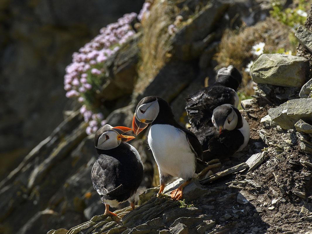 <p>Atlantic puffin (Fratercula arctica), Sumburgh</p>
