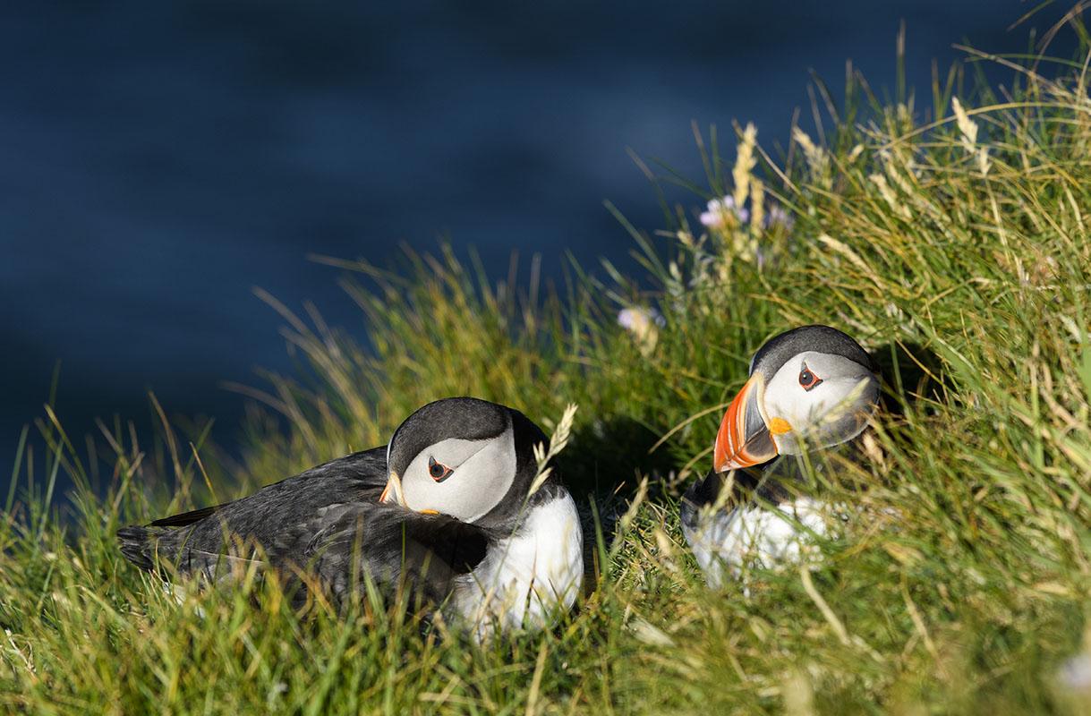 <p>Atlantic puffin (Fratecula arctica), Hermaness</p>