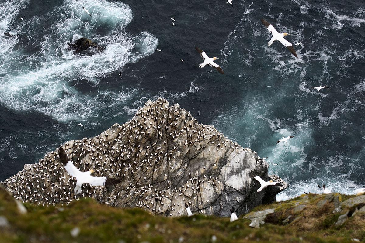 <p>Northern gannet (Sula basana), Hermaness</p>